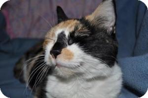Domestic Shorthair Cat for adoption in Maple Ridge, British Columbia - Shelby