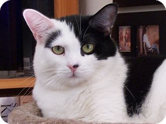 Domestic Shorthair Cat for adoption in Diamond Bar, California - TOONA