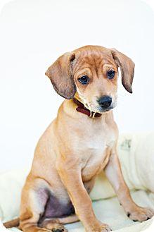 Miniature Pinscher Mix Puppy for adoption in Houston, Texas - Tanner