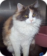 Domestic Longhair Cat for adoption in Silver City, New Mexico - Dusty Dream