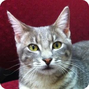Domestic Shorthair Cat for adoption in Gilbert, Arizona - Izzy