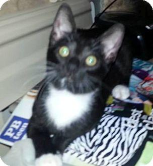 Domestic Shorthair Kitten for adoption in Phoenix, Arizona - Tiny