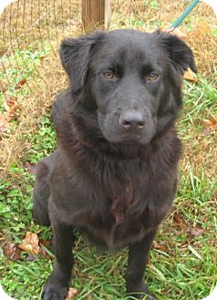 Flat-Coated Retriever Mix Dog for adoption in kennebunkport, Maine - Doc