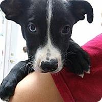 Adopt A Pet :: Mew - South Jersey, NJ
