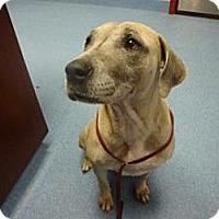 Adopt A Pet :: Sugar Bear - Gainesville, FL