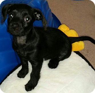 Shih Tzu Mix Puppy for adoption in Las Vegas, Nevada - MS's Bull