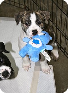 Pit Bull Terrier Mix Puppy for adoption in Chattanooga, Tennessee - Shakespeare