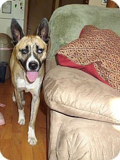 Akita/Great Dane Mix Dog for adoption in Chewelah, Washington - Bruce