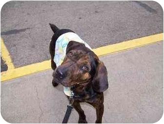 Plott Hound/Hound (Unknown Type) Mix Dog for adoption in Kellogg, Idaho - Archie