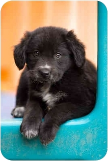 Border Collie/Labrador Retriever Mix Puppy for adoption in Portland, Oregon - April
