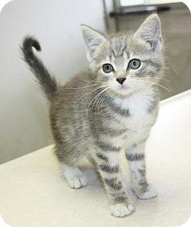 Domestic Shorthair Kitten for adoption in Cottageville, West Virginia - Candor