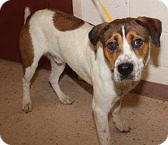 Saluki/Retriever (Unknown Type) Mix Dog for adoption in McDonough, Georgia - DONUT
