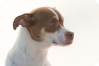 Chihuahua/Terrier (Unknown Type, Small) Mix Dog for adoption in Poway, California - PEGGY