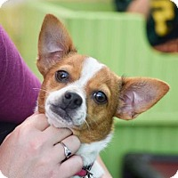 Adopt A Pet :: Ginger - Eugene, OR