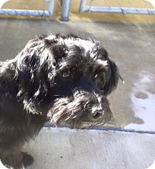 Poodle (Miniature)/Terrier (Unknown Type, Medium) Mix Dog for adoption in Grants Pass, Oregon - Darcy