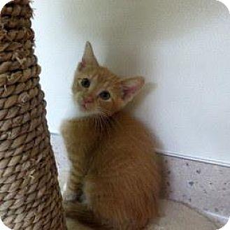 Domestic Shorthair Kitten for adoption in Janesville, Wisconsin - Cinco