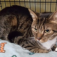 Domestic Shorthair Cat for adoption in Freeport, New York - George