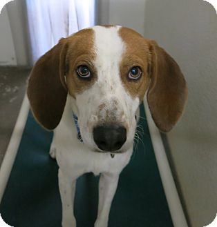 Hound (Unknown Type) Mix Dog for adoption in Geneseo, Illinois - Bueller