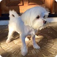 Adopt A Pet :: Ace Puppy - Encino, CA