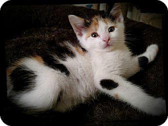 Calico Kitten for adoption in Richmond, Virginia - Sassafras