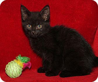 Domestic Shorthair Kitten for adoption in Marietta, Ohio - Kyle (Neutered)