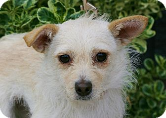 Chihuahua/Terrier (Unknown Type, Small) Mix Dog for adoption in Carlsbad, California - Trixie