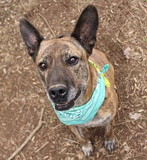 German Shepherd Dog/Pit Bull Terrier Mix Dog for adoption in Ijamsville, Maryland - Remy