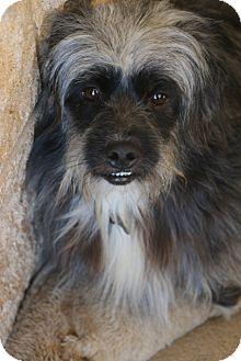 Havanese/Lhasa Apso Mix Dog for adoption in Norwalk, Connecticut - Ragsdale