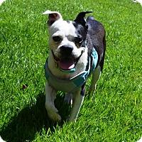 Adopt A Pet :: Chowder - Huntington Beach, CA