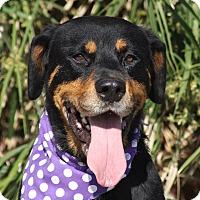Adopt A Pet :: Shandy - La Jolla, CA
