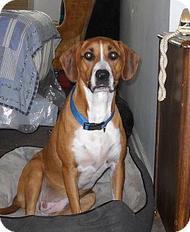 Hound (Unknown Type)/Labrador Retriever Mix Dog for adoption in Barrington Hills, Illinois - Belle