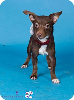 Chihuahua Mix Dog for adoption in Claremont, New Hampshire - Hazel - Adopted!