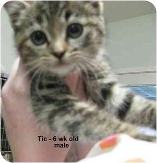 Hemingway/Polydactyl Kitten for adoption in Grants Pass, Oregon - Tac