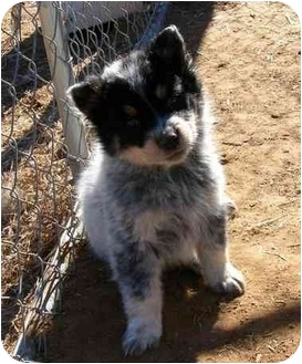 Australian Shepherd/Shepherd (Unknown Type) Mix Puppy for adoption in Broomfield, Colorado - Taylor Swift