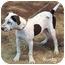 Photo 3 - Dalmatian/Pointer Mix Puppy for adoption in Mandeville Canyon, California - Rusty