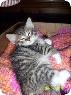Domestic Mediumhair Kitten for adoption in Cleveland, Ohio - Tony Danza