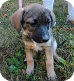 Shepherd (Unknown Type)/Collie Mix Puppy for adoption in Allentown, Pennsylvania - Manny the Paw
