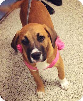 Boxer Mix Puppy for adoption in Lancaster, California - Nashville