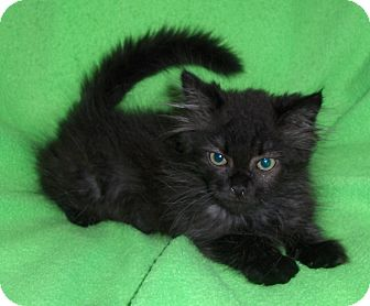 Domestic Shorthair Kitten for adoption in Richmond, Virginia - Ashes