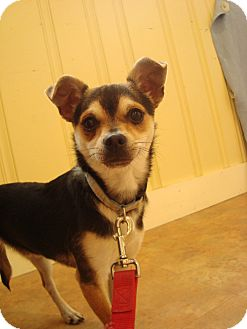 Chihuahua Mix Dog for adoption in Youngwood, Pennsylvania - Buddy