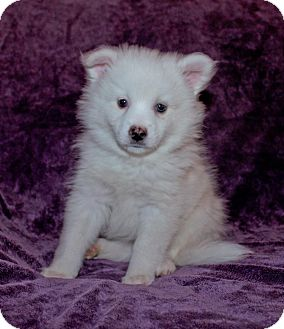 American Eskimo Dog Puppy for adoption in West Milford, New Jersey - NELLIE pending