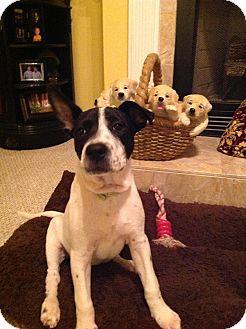 Rat Terrier/American Bulldog Mix Puppy for adoption in Jesup, Georgia - Sissy