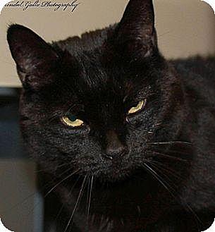 Domestic Shorthair Cat for adoption in Saranac Lake, New York - Kitty Spook