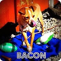 Adopt A Pet :: Bacon - McKinney, TX