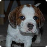 Adopt A Pet :: Nyani - Phoenix, AZ