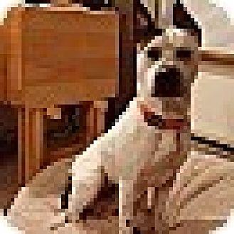 Pit Bull Terrier/Pointer Mix Dog for adoption in Bellingham, Washington - Hunter