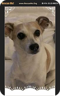 Jack Russell Terrier/Chihuahua Mix Dog for adoption in Dallas, Pennsylvania - Peaches