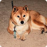 Adopt A Pet :: Rhonwen - Centennial, CO