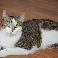 Domestic Shorthair Cat for adoption in Alpharetta, Georgia - Tippy