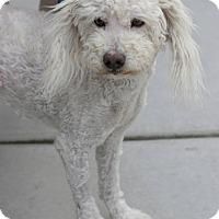 Adopt A Pet :: Benedict - NON SHED - Phoenix, AZ
